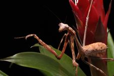 Free Praying Mantis Royalty Free Stock Images - 10816789