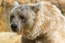 Free Brown Bear, Terrestrial Animal, Mammal, Grizzly Bear Royalty Free Stock Photography - 108243917