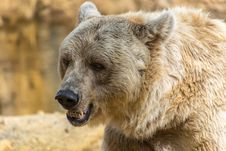 Free Brown Bear, Grizzly Bear, Mammal, Terrestrial Animal Stock Images - 108243964