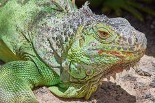 Free Reptile, Iguana, Scaled Reptile, Iguania Royalty Free Stock Image - 108244036
