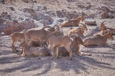 Free Wildlife, Herd, Fauna, Barbary Sheep Stock Image - 108244051