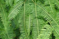 Free Vegetation, Ostrich Fern, Plant, Ferns And Horsetails Royalty Free Stock Photo - 108244095