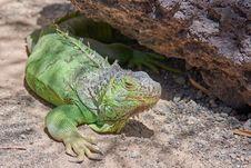 Free Reptile, Iguana, Scaled Reptile, Iguania Stock Photos - 108244143