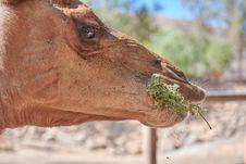 Free Wildlife, Fauna, Camel, Camel Like Mammal Royalty Free Stock Photos - 108244198