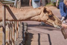 Free Camel, Camel Like Mammal, Arabian Camel, Snout Royalty Free Stock Photo - 108244435