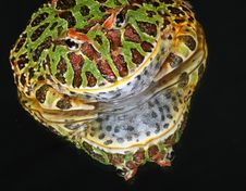 Free Ornate Horned Frog Stock Photography - 10837852