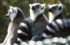 Free Lemur, Fauna, Primate, Fur Royalty Free Stock Images - 108316839