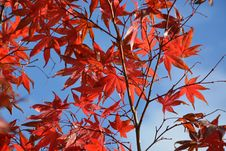 Free Red, Leaf, Maple Leaf, Tree Stock Image - 108316861