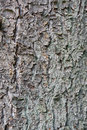 Free Old Pine Tree Trunk Texture Stock Photos - 10844813