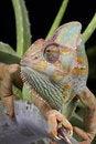 Free Chameleon Animal Stock Photography - 10849352