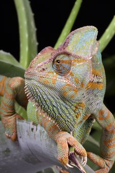 Free Chameleon Animal Stock Photography - 10849352