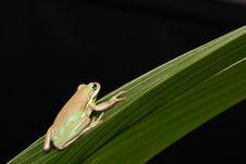 Free Frog Green Tree Animal Royalty Free Stock Photo - 10849435