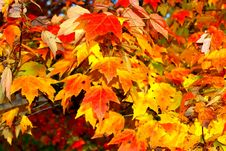 Free Maple Leaf, Autumn, Leaf, Yellow Stock Image - 108523291