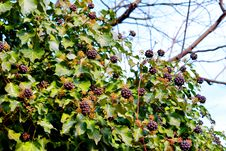 Free Plant, Leaf, Berry, Flora Royalty Free Stock Photo - 108523305