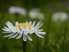 Free Flower, Oxeye Daisy, Flora, Daisy Stock Images - 108523384
