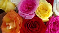 Free Flower, Rose, Rose Family, Yellow Royalty Free Stock Photography - 108523457