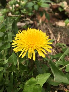 Free Flower, Dandelion, Sow Thistles, Plant Royalty Free Stock Images - 108523459