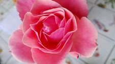 Free Flower, Rose, Pink, Rose Family Royalty Free Stock Photos - 108523608