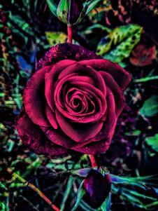 Free Flower, Rose Family, Rose, Garden Roses Stock Images - 108523624
