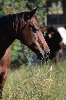Free Horse, Halter, Mane, Bridle Stock Photography - 108523682