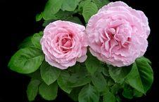 Free Flower, Rose, Rose Family, Pink Stock Photos - 108523683