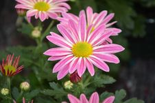 Free Flower, Plant, Marguerite Daisy, Flora Royalty Free Stock Photos - 108523948