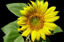 Free Flower, Sunflower, Yellow, Sunflower Seed Stock Photos - 108524063