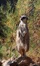 Free Meerkat Royalty Free Stock Images - 10876109