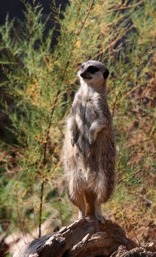 Free Meerkat Royalty Free Stock Images - 10876109