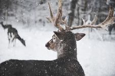 Free Photo Of Reindeer In The Snow Stock Photo - 108798440