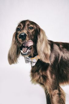 Free Adult Brown Irish Setter Royalty Free Stock Images - 108798529