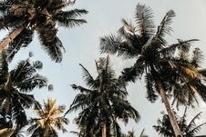 Free Low-angle Photography Of Coconut Trees Royalty Free Stock Image - 108798786