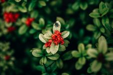 Free Red Ixora Flowers Closeup Photo Royalty Free Stock Photo - 108799085