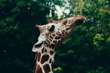 Free Selective Focus Photography Of Giraffe Head Royalty Free Stock Image - 108799086