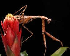 Free Praying Mantis Royalty Free Stock Photos - 10884768