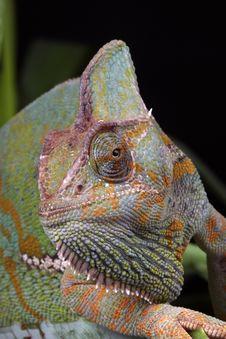 Free Chameleon Portrait Stock Images - 10884864