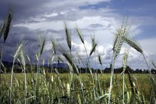 Free Grain Detail On A Stormy Summer Day Royalty Free Stock Photo - 10891185