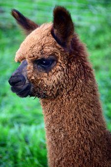 Free Alpaca, Camel Like Mammal, Fauna, Llama Stock Photos - 108957063