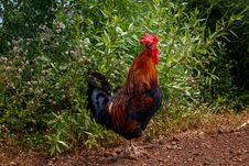Free Chicken, Rooster, Galliformes, Bird Royalty Free Stock Photos - 108957498