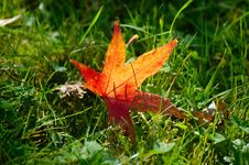 Free Leaf, Maple Leaf, Autumn, Grass Royalty Free Stock Photo - 108957555