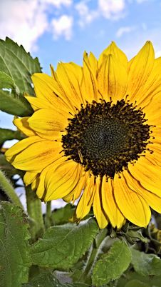 Free Flower, Sunflower, Yellow, Sunflower Seed Royalty Free Stock Photo - 108957585