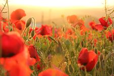 Free Flower, Red, Wildflower, Field Stock Images - 108957614
