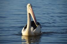 Free Pelican, Bird, Seabird, Beak Royalty Free Stock Photos - 108957628