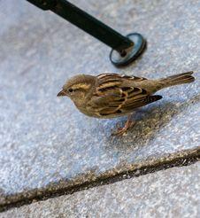 Free Bird, Sparrow, Fauna, House Sparrow Royalty Free Stock Photos - 108957838