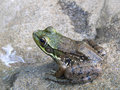 Free Frog In A Pond Royalty Free Stock Photos - 1096528