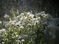 Free White Daisies And Water Spray Royalty Free Stock Image - 1099396