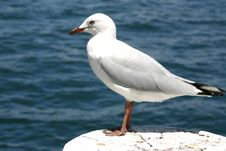 Free Seagull Stock Images - 1090184