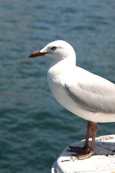 Free Seagull Royalty Free Stock Photos - 1090198