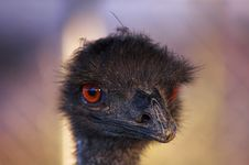 Free Portrait Of An Ostrich Stock Photo - 1090270