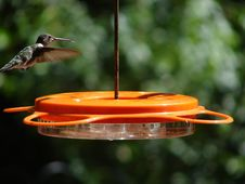 Free Hummingbird Looking For Food Royalty Free Stock Photography - 1090287
